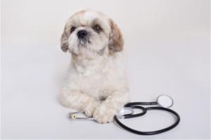 cachorro de pequeno porte deitado com as patas cruzadas em cima de um estetoscópio